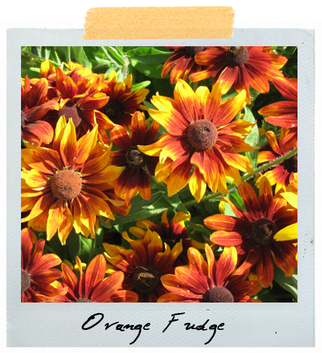 Rudbeckia 'Orange Fudge'