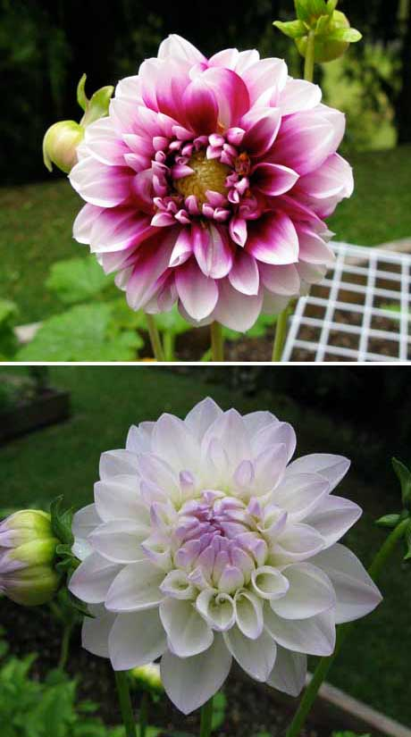 Dahlias white and burgundy