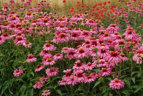 Echinacea_Pink_Poodle