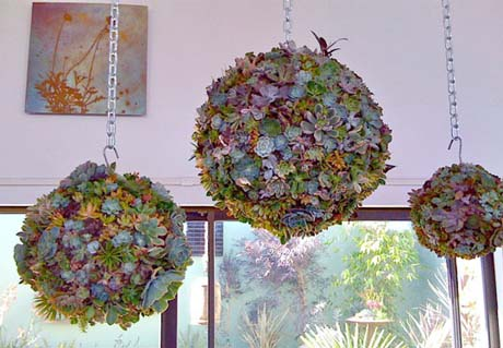Succulent balls