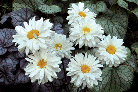 Leucanthemum_Victorian_Secret