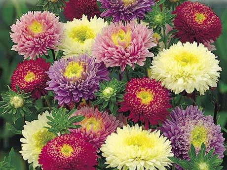 China asters