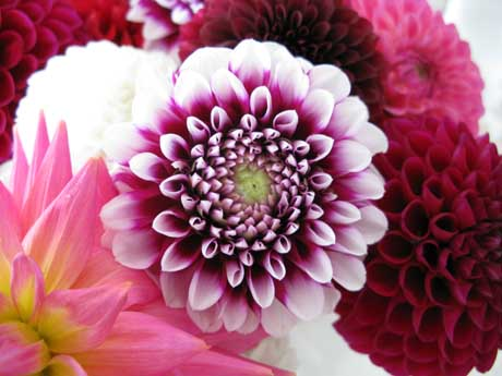 Bicoloured dahlia