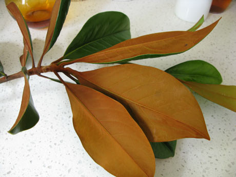 Evergreen magnolia bronze leaves