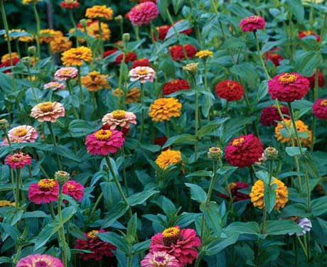 Mixed zinnias