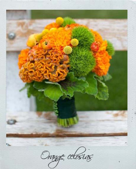 Orange celosia