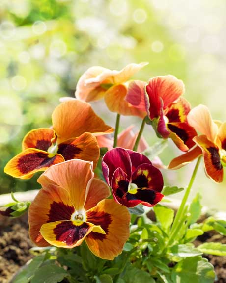 Pansy flowers red and orange