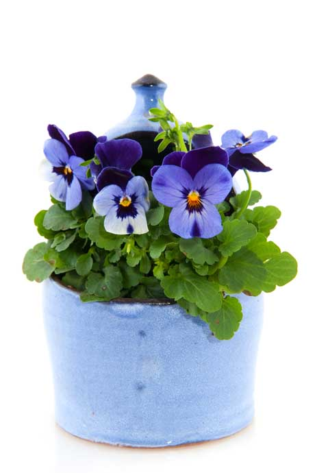 Purple pansy posy