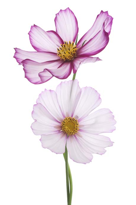 Plant now cosmos flaming petal blog if mightylinksfo
