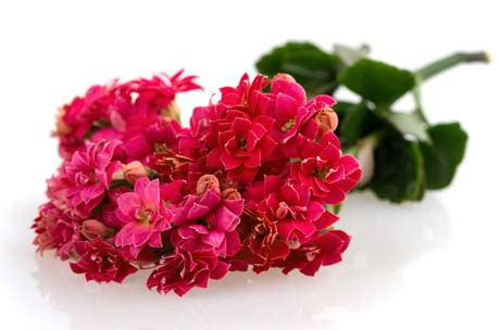 Kalanchoe blooming branch