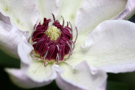 Pics For > White Clematis Varieties