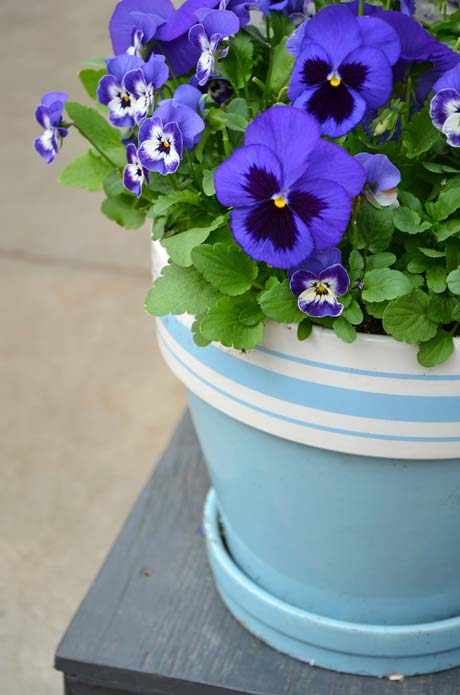 pansies-blue2