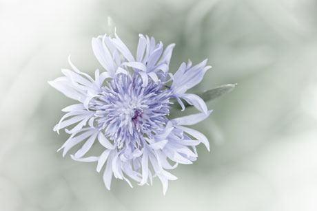 cornflower-2