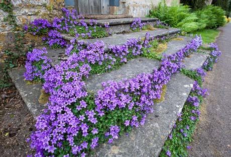 campanula-steps
