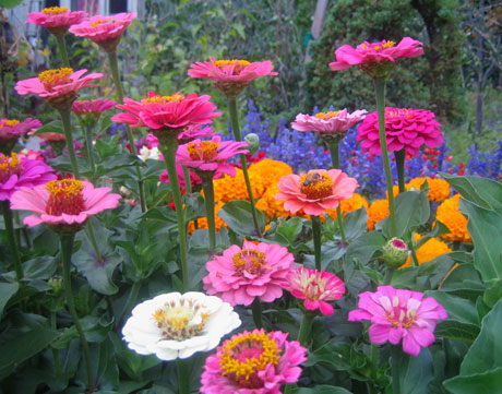 zinnia-selection
