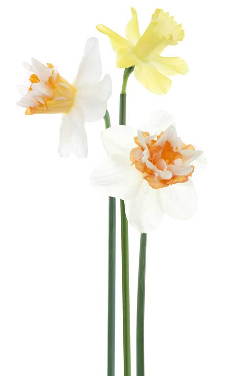 daffodil-selection