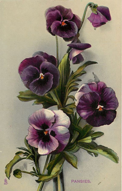 pansies-illustration