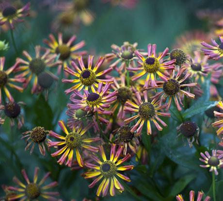 purple-echinacea