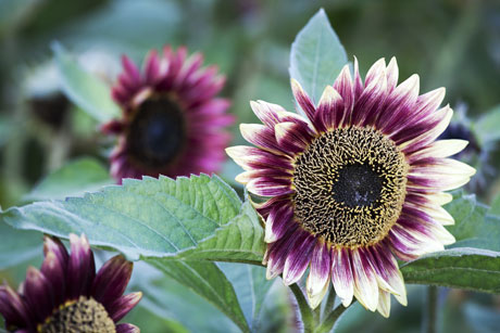 purple-sunflower