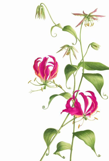 Gloriosa rothschildiana - Flame Lily. Illustration by Denise Ramsay http://www.deniseramsay.com/flamelily