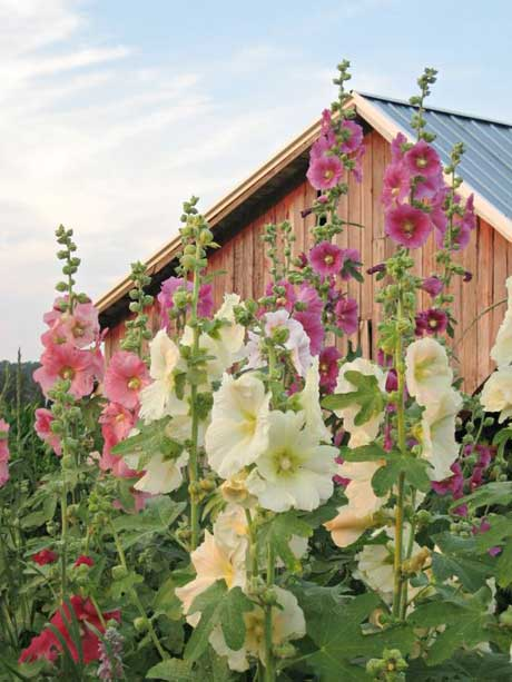 hollyhocks-4