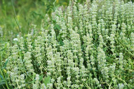 thyme-flowers-white