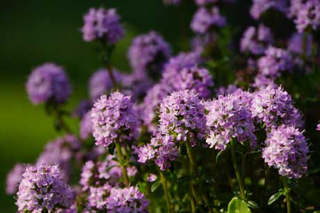 thyme-flowers1