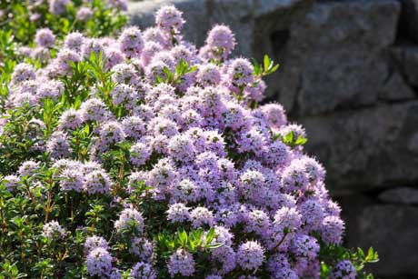 thyme-flowers2