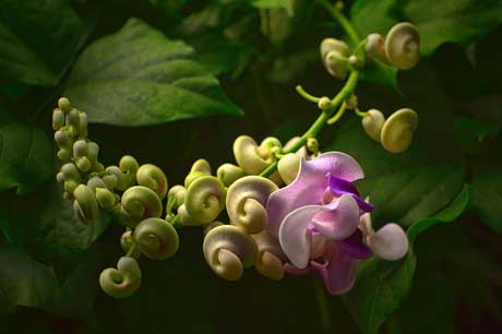 Plant now snail vine flaming petal blog the snail vines vigna caracalla scented blooms look a bit like pretty snail shells hence its common name its a climbing perennial publicscrutiny Gallery